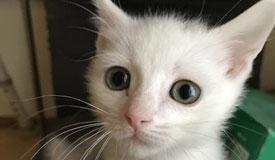キャロット♀ 白