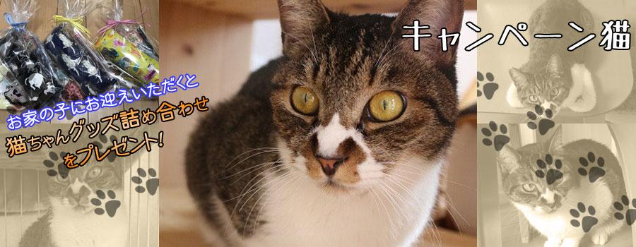 ゴンタくん♂ キジ白