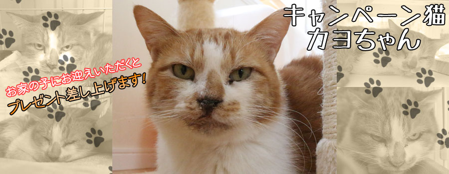 カヨちゃん♀ 茶白